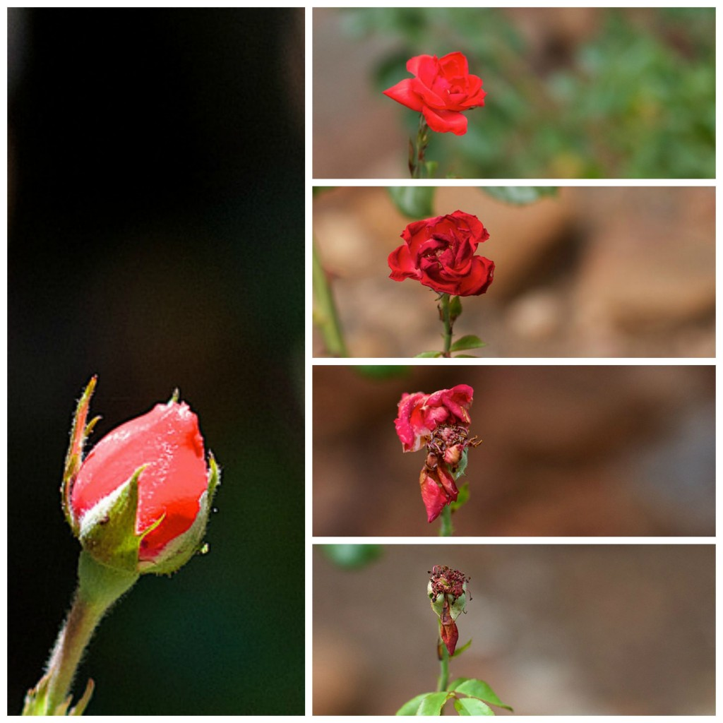 Life of a rose, over 5 days.